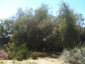 Pepper Tree.JPG.opt640x480o0,0s640x480